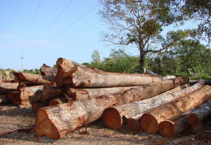 El estricto control de sus planes de manejo silvícola garantiza la reforestación y conservación de la selva. (Manuel Salazar/SIPSE)