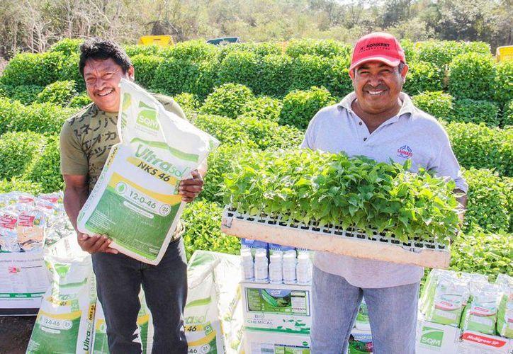 Se entregaron 60 mil plantas de chile habanero a horticultores de  Halachó. (Milenio Novedades)