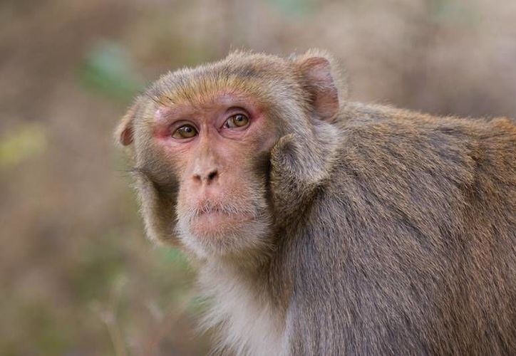 El mono patas y el mono rhesus (foto) son en general transmisores del herpes y de la rabia, por lo que en Puerto Rico representan una seria amenaza. (bioblogia.com)