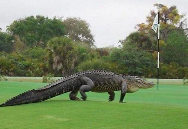 El reptil de casi cuatro metros fue visto el pasado fin de semana en el campo de golf Club Myakka Pines caminando de una laguna a otra. (Facebook Myakka Pines)