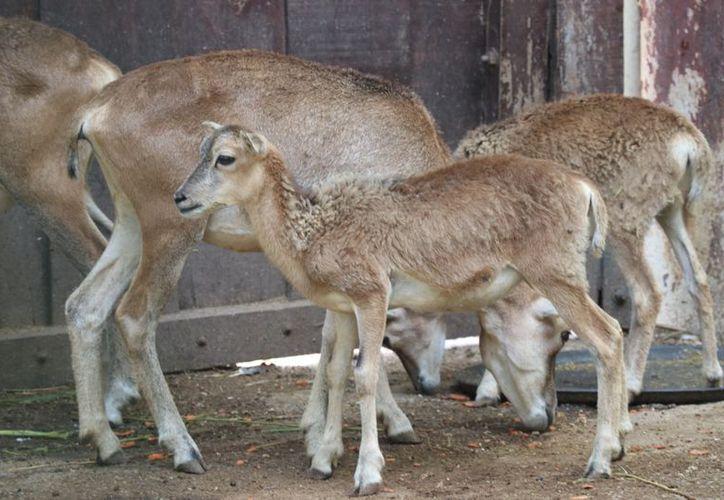 A la fecha se han registraron 49 nacimientos de animales de las diversas especies que alberga el zoológico. (Daniel Sandoval/Milenio Novedades)