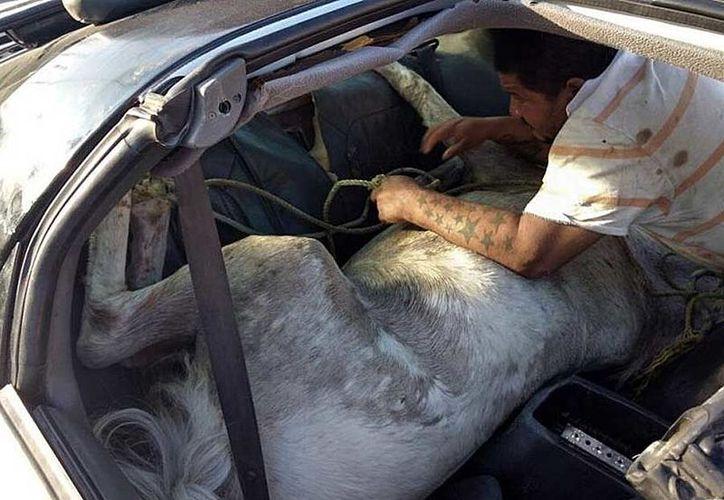 Detienen a hombre que transportaba en el vehículo compacto a un caballo enfermo. (Excélsior).