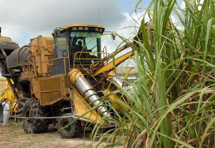 La superficie cultivada de caña de azúcar en la entidad abarca 32 mil 380 hectáreas. (Redacción/SIPSE)