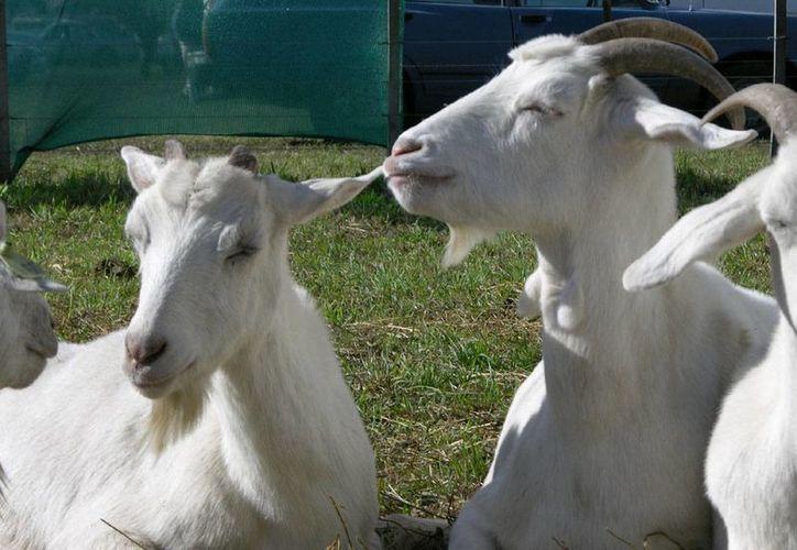Durante la estación de anestro, los machos cabríos también disminuyen su actividad sexual. (taringa.net)