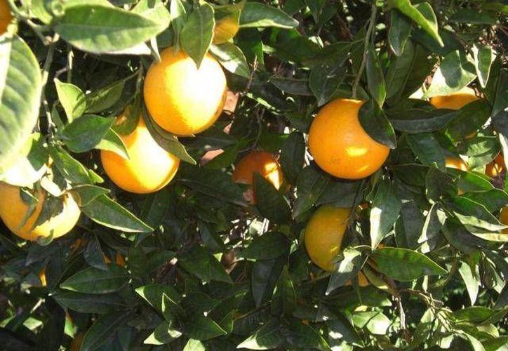La empresa exporta su producción, concentrado de jugo de naranja y limones, a Estados Unidos y Alemania. (Archivo SIPSE)