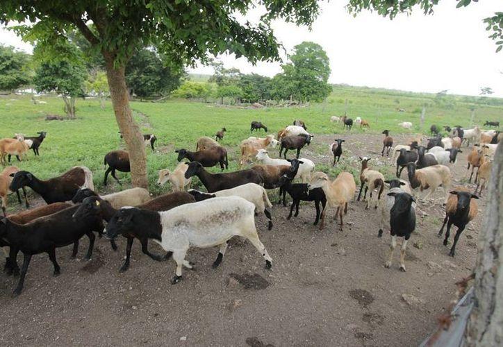 Campesinos contabilizan pérdidas de hasta 25 animales en lo que va del año. (Edgardo Rodríguez/SIPSE)