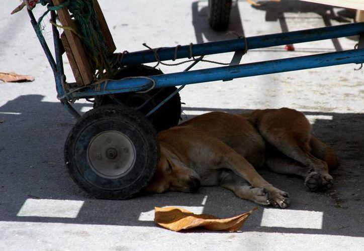El Cebiam da en adopción a todos los perros que retiene, previamente los dueños tienen 72 horas para recuperar a sus canes capturados.  (María Mauricio/SIPSE)