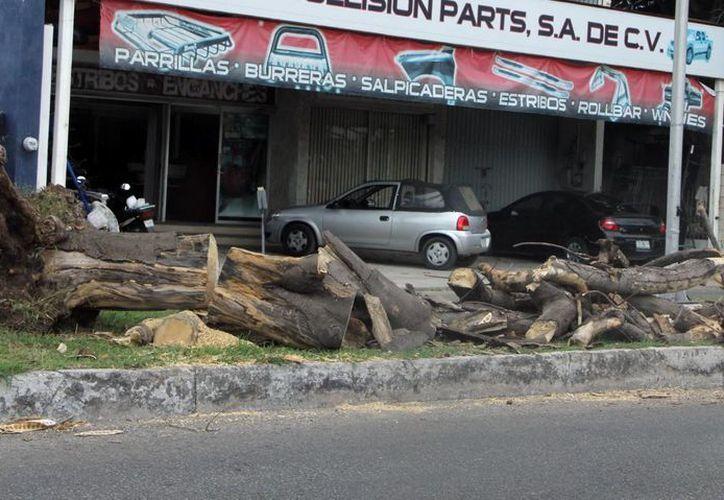 Uno de los árboles derribados por la turbonada cayó en la zona cercana a una galletera. (José Acosta/SIPSE)
