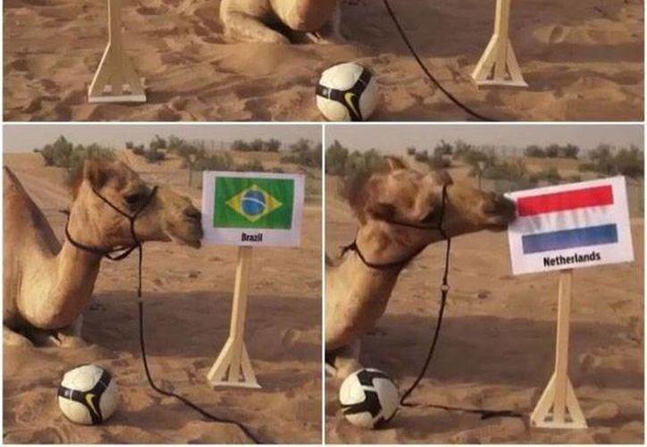 Shaheen, recostado sobre la arena, escoge una de dos banderas y 'decide' qué equipo ganará su partido mundialista en Brasil. (Fotos: especiales)