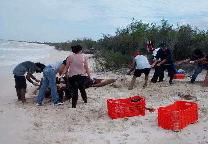 Fotografía del momento en que personal de la Profepa, Seduma, Uady, SSP y policías de Hunucmá realizan las maniobras para enterrar el cadáver del cachalote muerto en una playa de Sisal. (Milenio Novedades)