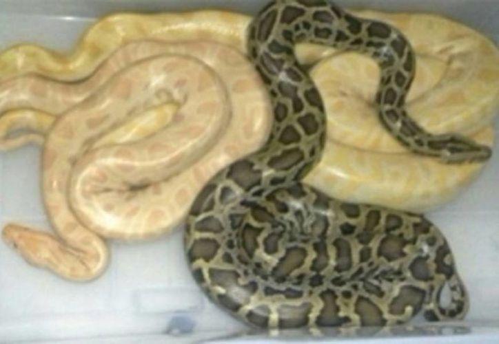 Los reptiles decomisados en el aeropuerto de Tamaulipas fueron puestos a disposición del Agente del Ministerio Público de la Federación. (Notimex)