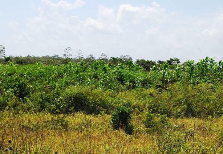 Buscan disminuir la afectación por el cambio climático plantando acahuales. (Ángel Castilla/SIPSE)