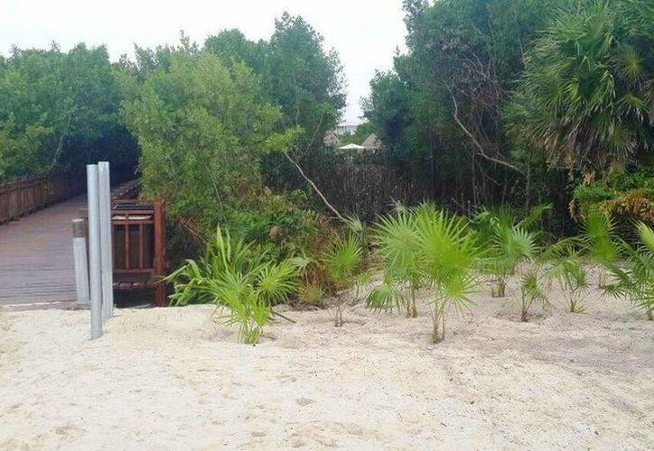 El hotel fue sancionado nuevamente por devastar mangle y replantar plama chit sin autorización. (Daniel Pacheco/SIPSE)