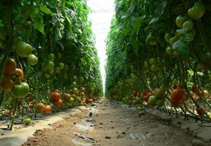 La empresa Hidroponía Maya ayudaba a los agricultores de la zona, a colocar su cosecha en otros mercados. (Redacción/SIPSE)