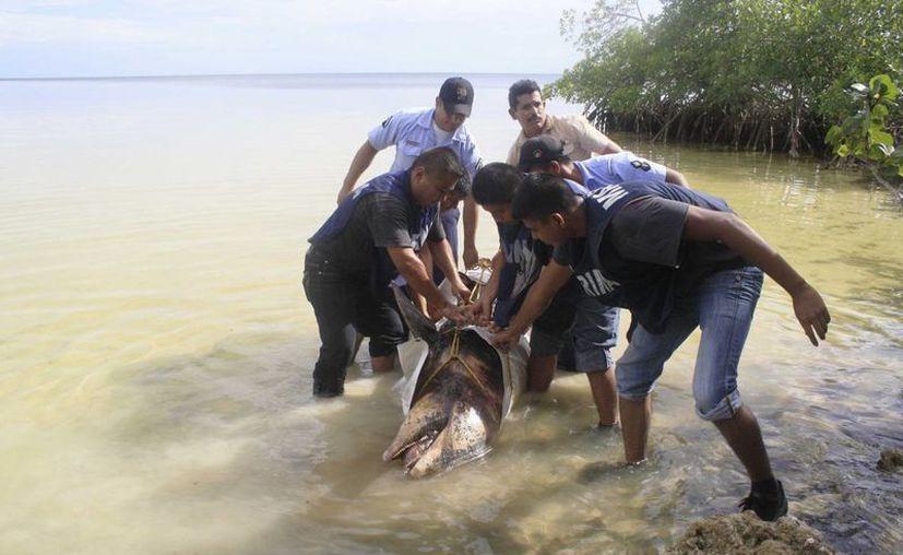 En lo que va del año se han encontrado dos delfines y dos manatíes muertos en el Santuario del Manatí.  (Harold Alcocer/SIPSE)