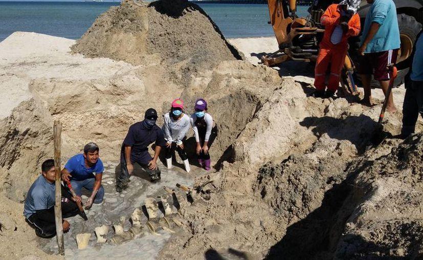 Personal del departamento de Biología Marina de la Universidad Autónoma de Yucatán (Uady) protege y estudia los restos de la ballena que recaló y murió hace un año en Progreso. (Jorge Acosta/SIPSE)