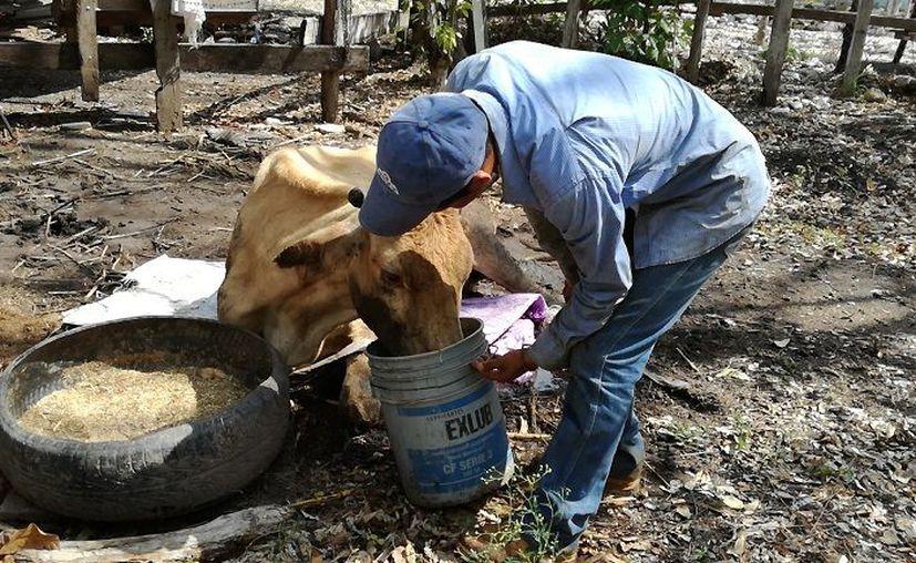 La falta de agua y pastizales para alimentar al hato y animales muriendo los orillo a dejar la actividad. (Javier Ortiz / SIPSE)