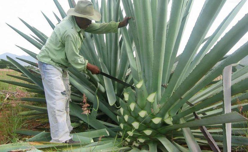 En las últimas semanas los precios del agave se dispararon de los 40 centavos a los 4 pesos por kilogramo. (culturacolectiva.com)