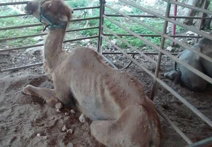 Este miércoles entrará en vigor la ley que prohíbe el uso de animales es circos, por lo que algunos ejemplares son rematados por los cirqueros. Imagen de uno de los animales que presuntamente fueron abandonados por el circo Atayde en Yucatán. (Archivo/Notimex)