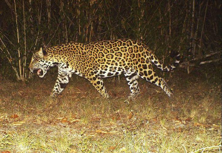 Pronatura Península de Yucatán A.C 'captura' en videotrampa a jaguares en Yucatán. (Milenio Novedades)