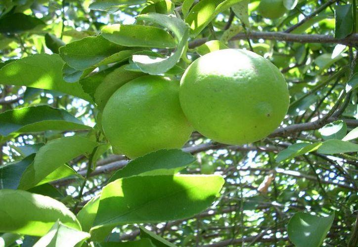 La iniciativa beneficiará a 300 productores citrícolas. (Cortesía/SIPSE)