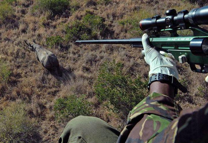 Guardias forestales afirman que en esta temporada decembrina la caza de rinocerontes aumenta en Sudáfrica. (cb24.tv)