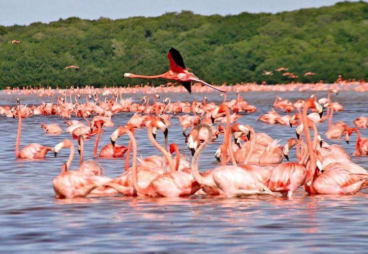Las costas del oriente del Estado se pintan de rosado en esta época. (Milenio Novedades)