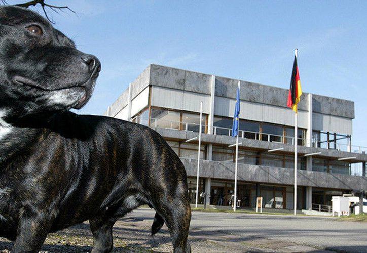 Los Staffordshire bull terrier no figuran en la lista de razas de perros prohibidos en el Reino Unido. (RT)