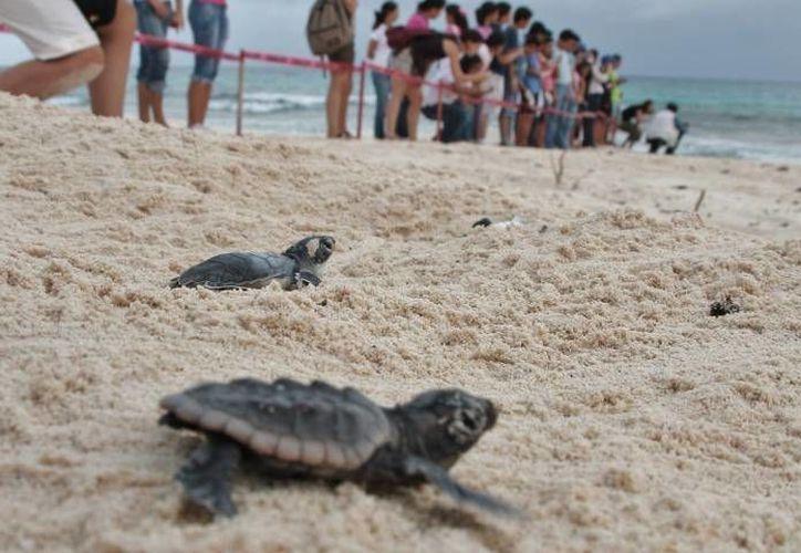 En 10 años el saqueo de nidos de tortuga marina ha pasado del 50% al 5%. (Archivo/SIPSE)