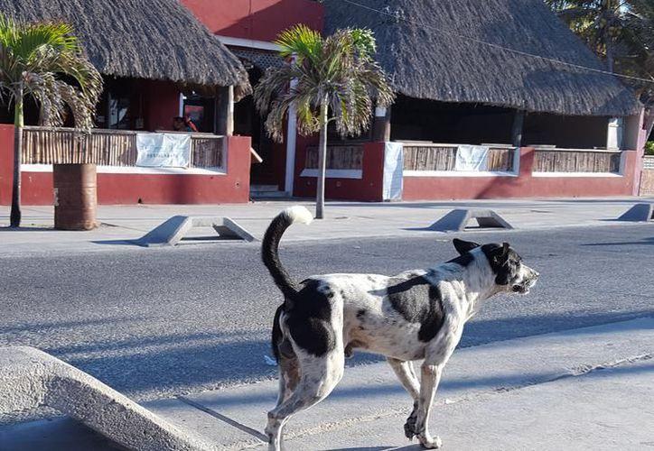 En abril pasado, tras el brote de rabia en el municipio de Progreso, el Ayuntamiento anunció que levantaría perros y gatos callejeros para sacrificarlos. Después, se echó para atrás. (Gerardo Keb/SIPSE)