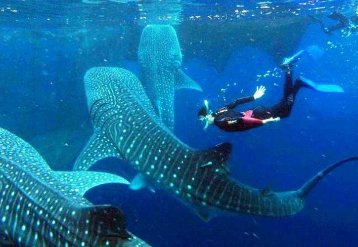 El tiburón ballena es el pez más grande que existe en el planeta. (Ayuntamiento de Isla Mujeres)
