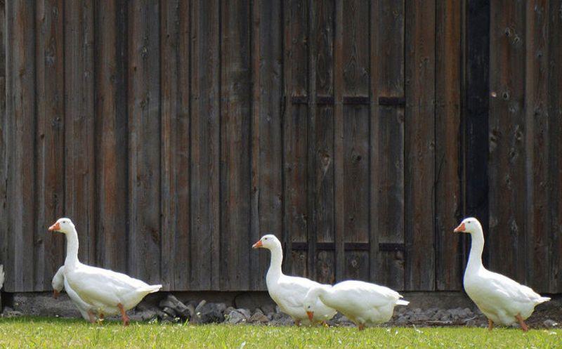Una lluvia de gansos atemorizó a un pueblo