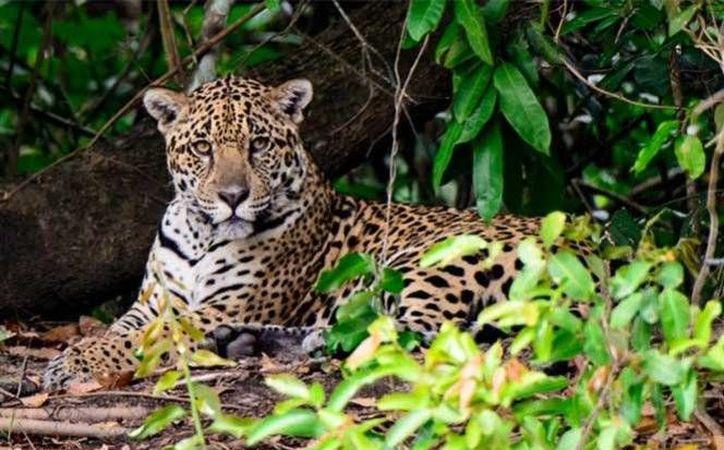 En la COP13 se anunciarán 14 nuevas reservas para el jaguar a lo largo de todo el país, que cubren más de 2.3 millones de hectáreas. (Excelsior)