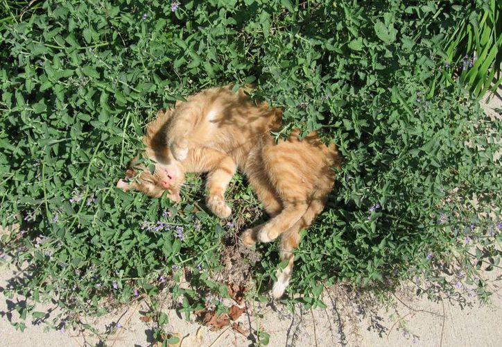 Los guardias procedieron a realizar la captura del animal doméstico la cual se prolongó por varios minutos, pues el felino escapó en varias ocasiones de las manos de los gendarmes. (Redacción/SIPSE)