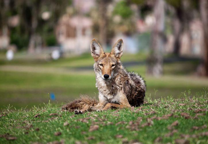 Los coyotes urbanos infectados no son agresivos, pero deben evitarse a toda costa. (Foto: Contexto/Internet)