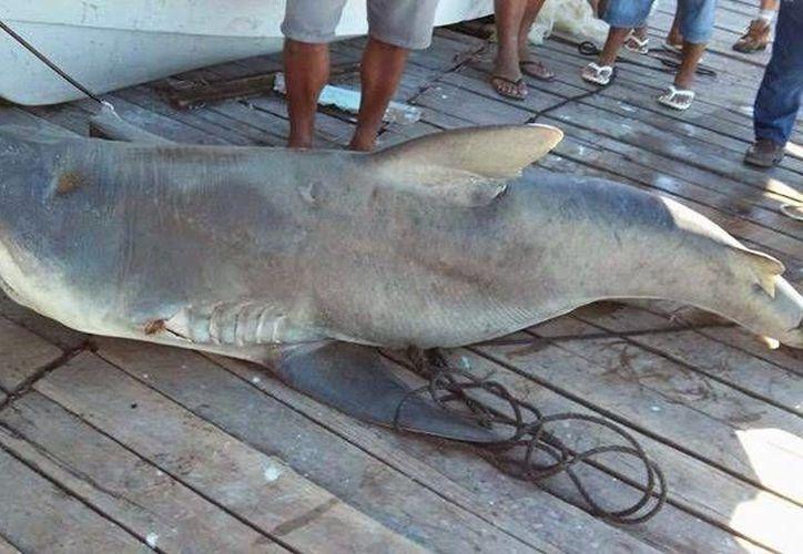 El enorme tiburón que capturó un pescador de Río Lagartos fue exhibido en el muelle, donde generó gran expectación. (SIPSE)