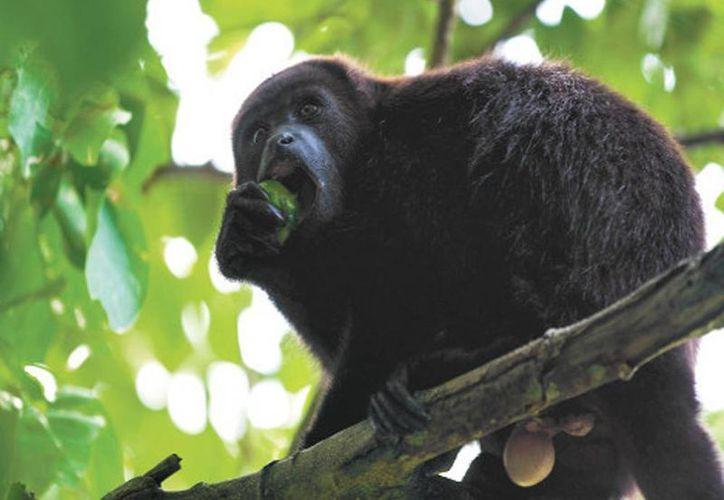 La consultora omitió reportar la presencia de los primates que habitan en la zona. (Milenio)