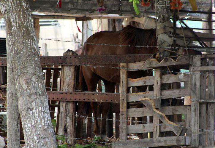 Los equinos presentan diversos niveles de desnutrición. (Foto: Gerardo Keb)