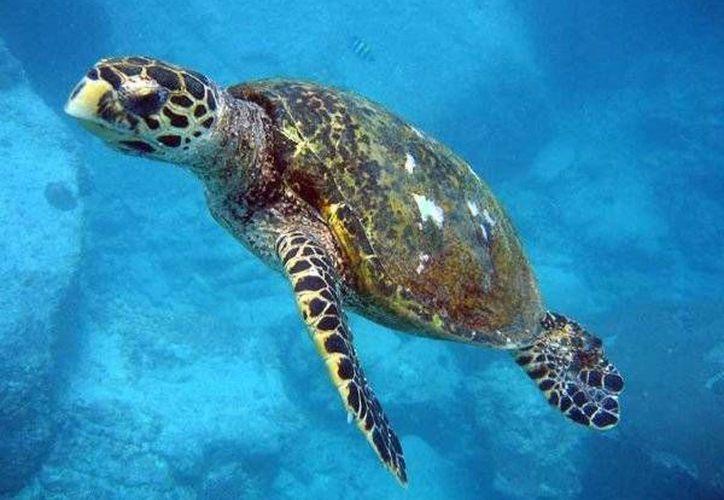Los hoteles han cumplido con los requerimientos para tener un buen manejo de playas y no afectar la anidación de las tortugas. (Foto de Contexto/SIPSE)