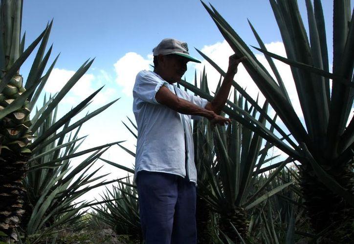En municipios como Motul y Baca se sembró la nueva variedad de la planta. (Milenio Novedades)