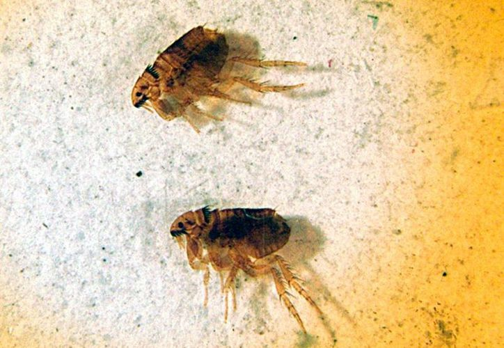 Las pulgas 'tradicionales' (en la imagen, vistas al microscopio) pueden trasmitir enfermedades a los animales domésticos y  éstos pueden contagiarlas al ser humano. (Foto de contexto/AP)