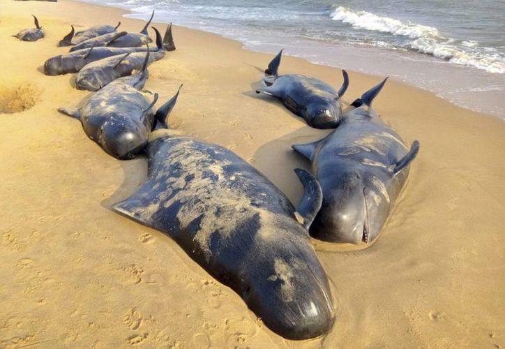 Imagen de decenas de ballenas piloto yacen hoy sobre la arena de una playa tras quedar varadas cerca de Titicorin, en Tamil Nudu, India. (EFE)
