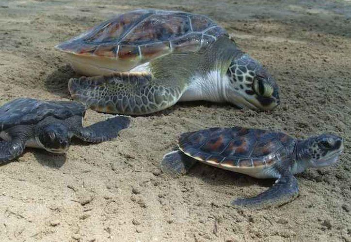 La golfina es la tortuga marina más abundante en el mundo, no obstante, está considerada en peligro. (Contexto/Internet)