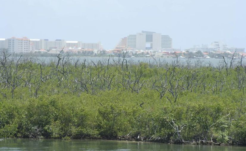 La deforestación de la zona de manglares afecta también al Sistema Arrecifal Mesoamericano. (Tomás Álvarez/SIPSE)