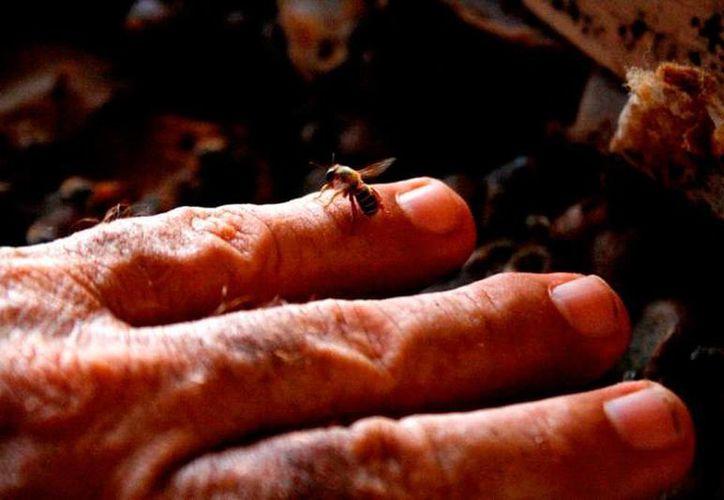 Los productores de miel de Yucatán temen que la miel china impacte en las ventas, pues el precio es mucho más bajo. (SIPSE)