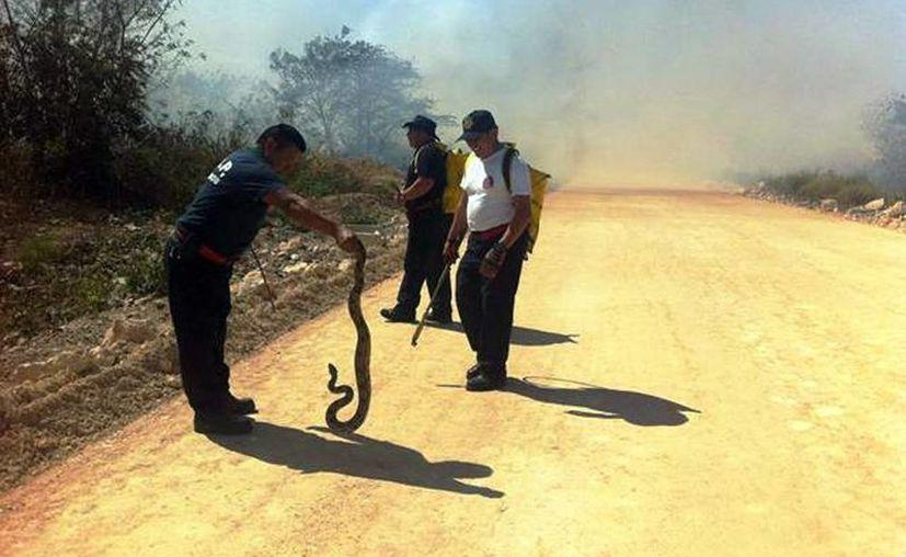 Los bomberos de la Secretaría de Seguridad Pública rescataron a una boa ratonera de 1.5 metros del fuego. (Milenio Novedades)