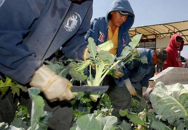 Unos 18 mil trabajadores agrícolas mexicanos se encuentran actualmente en Canadá. (Archivo/SIPSE)
