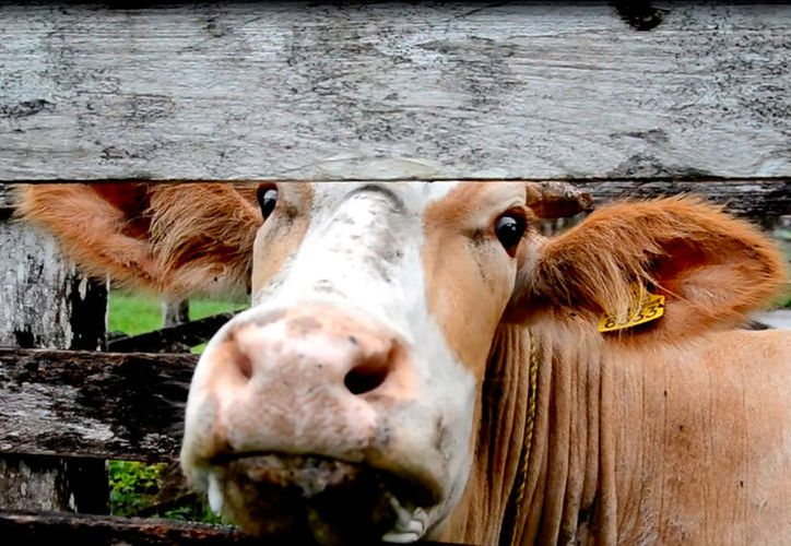 Teniendo créditos oportunos, la ganadería puede tener un detonante importante. (Foto: Juan Rodríguez / SIPSE)
