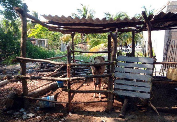 Un corral para caballos construyen en la zona de la ciénaga en Chuburná Puerto. La Profepa ya tiene el reporte de la situación.  (Milenio Novedades)