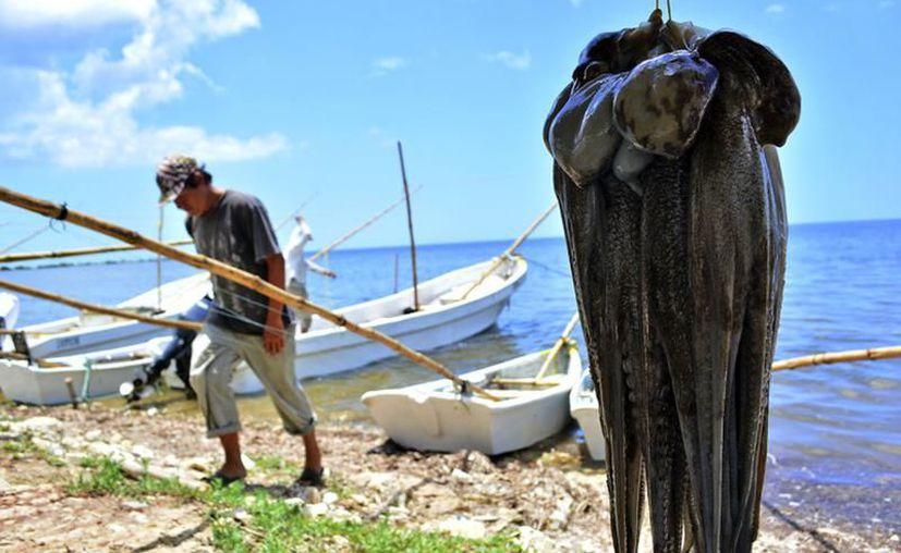 Actualmente, los precios del molusco en las costas del Estado giran entre los 50 y los 60 pesos por kilogramo. (Archivo/Sipse)